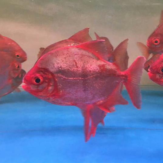 甘南玫瑰银版鱼